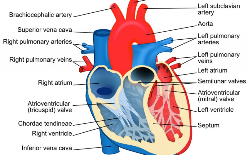 What's Chordae Tendineae and Its Connection with Mitral Valve Prolapse