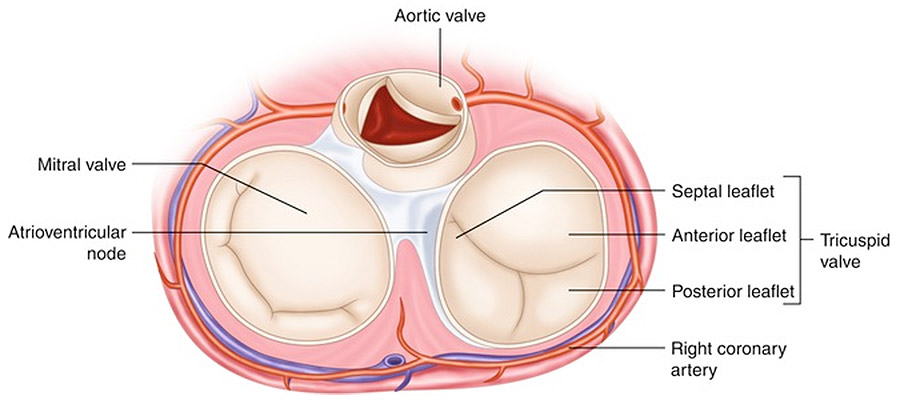 Heart valves anatomy